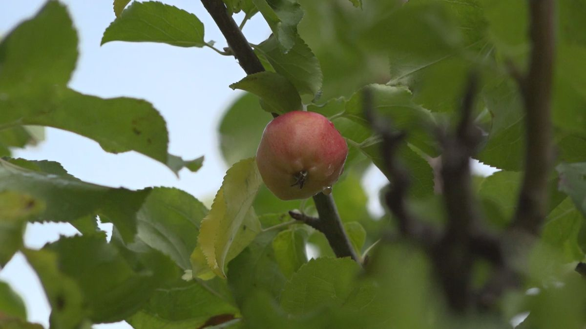 One of the last apples left on a tree that was stolen from at the Matanuska Experiment Farm.