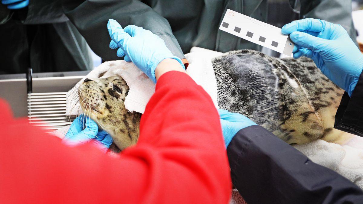 The Alaska SeaLife Center (ASLC) admitted a newborn harbor seal pup to the Wildlife Response...
