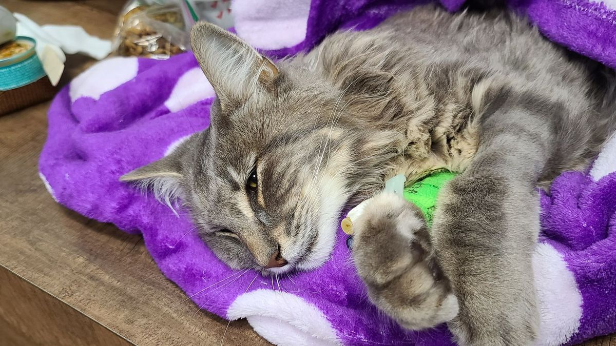 Skitter the cat recovers from a bullet wound at a veterinary clinic in Wasilla, Alaska.