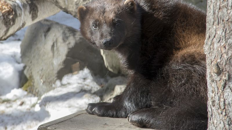 Olga, a North American wolverine, rests on a wooden structure during Kids Day at the Alaska Zoo...