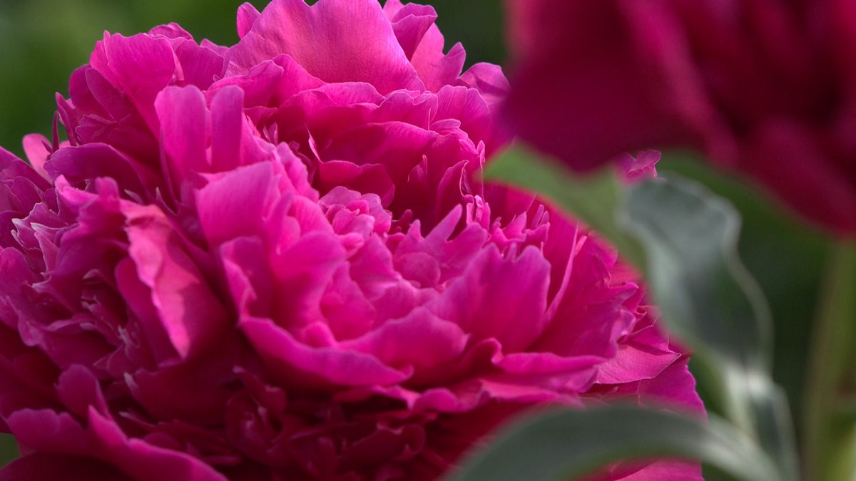 A Mary Jo Lagare peony from Mt. McKinley Peonies in Willow, Alaska.