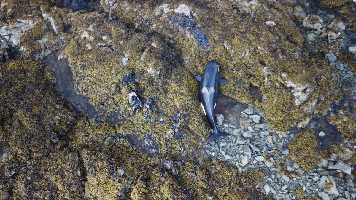An orca is stranded on shore rocks near Prince of Wales Island, Alaska.