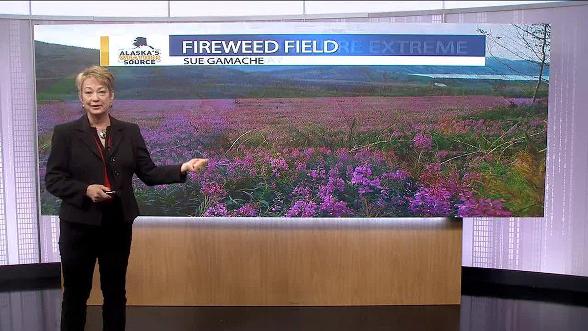 Field of fireweed-Sue Gamache_JP 7-28-21