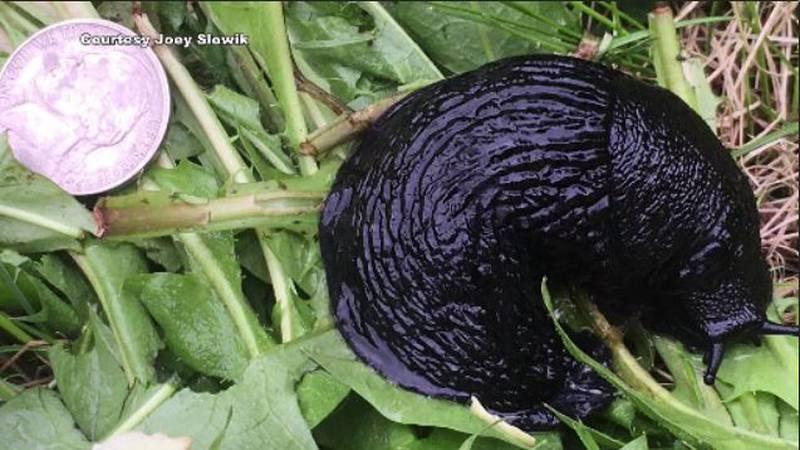 The European black slug is expanding its range across Alaska.