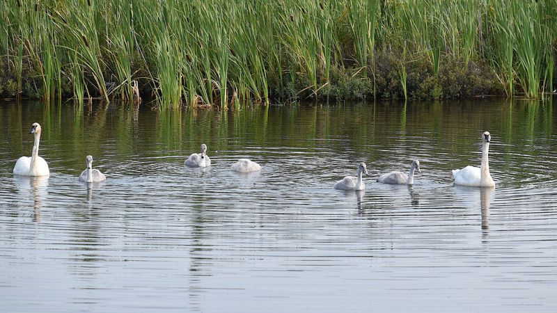 """The family of trumpeter swans had five babies, called """"cygnets""""."""