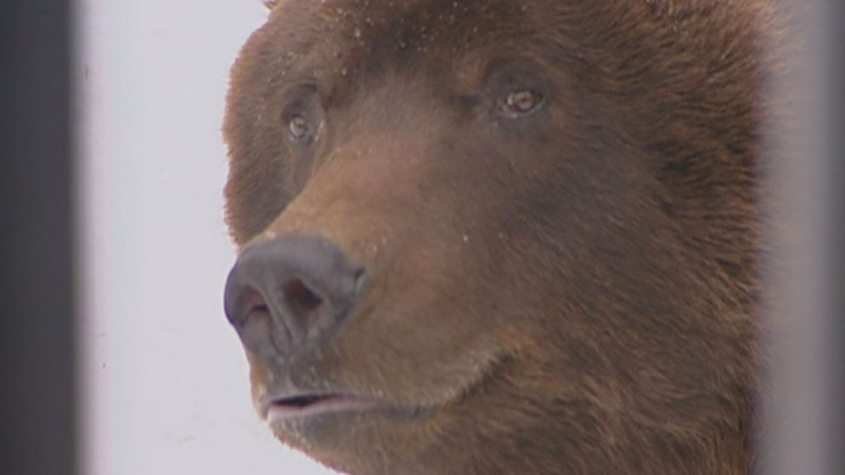 Jake the brown bear arrived at the zoo back in 1982.