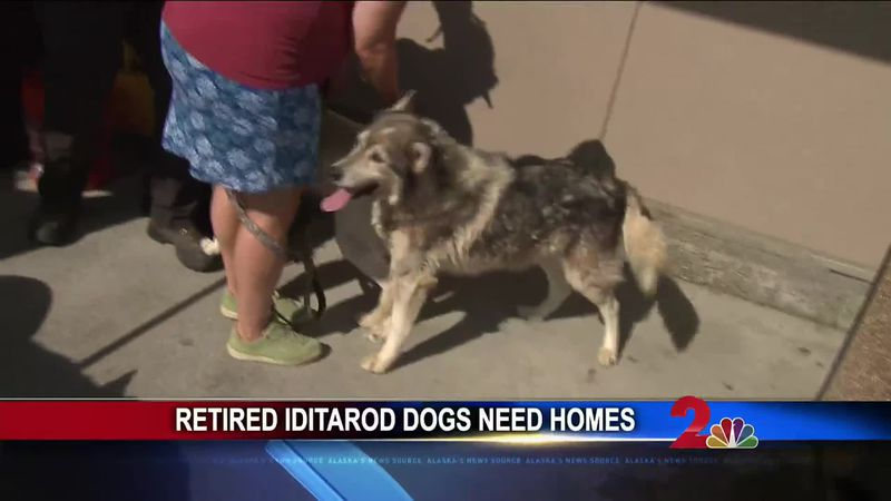 Adopt a retired Iditarod dog