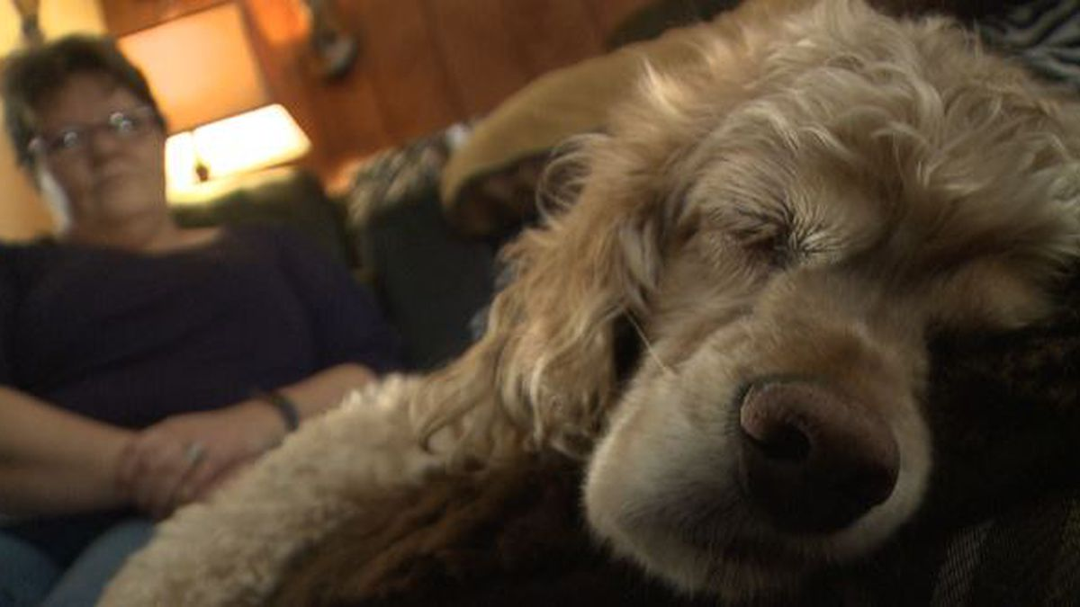 Daisy, a cocker spaniel, is recovering after a moose attack on Saturday.