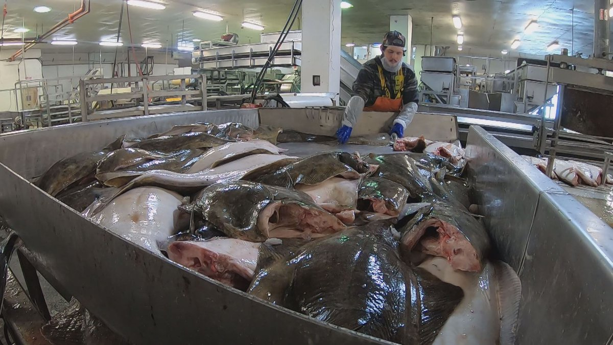 Halibut being processed at the Golden Harvest Seafood plant located in Adak, Alaska.