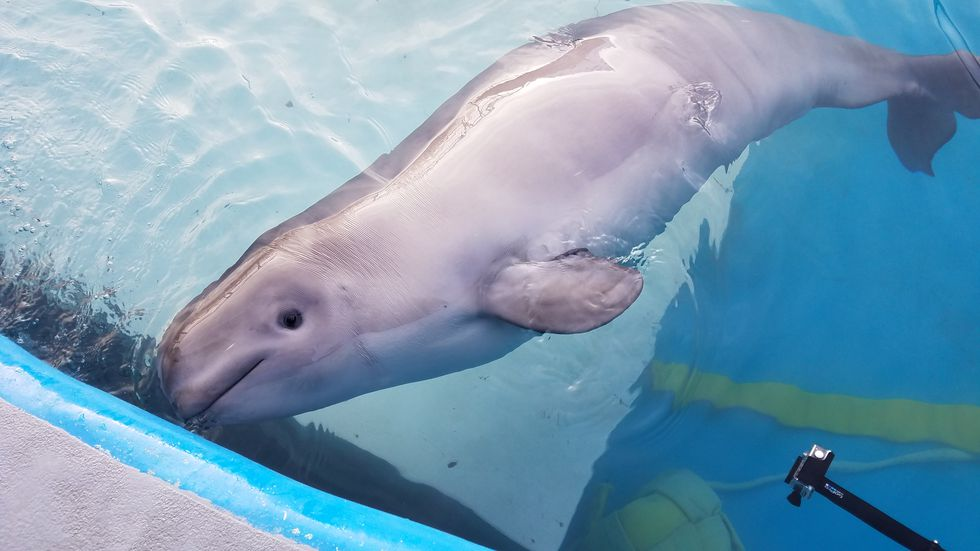 Photo of Tyonek, beluga whale calf (Activities pictured authorized by MMHSRP's MMPA/ESA)
