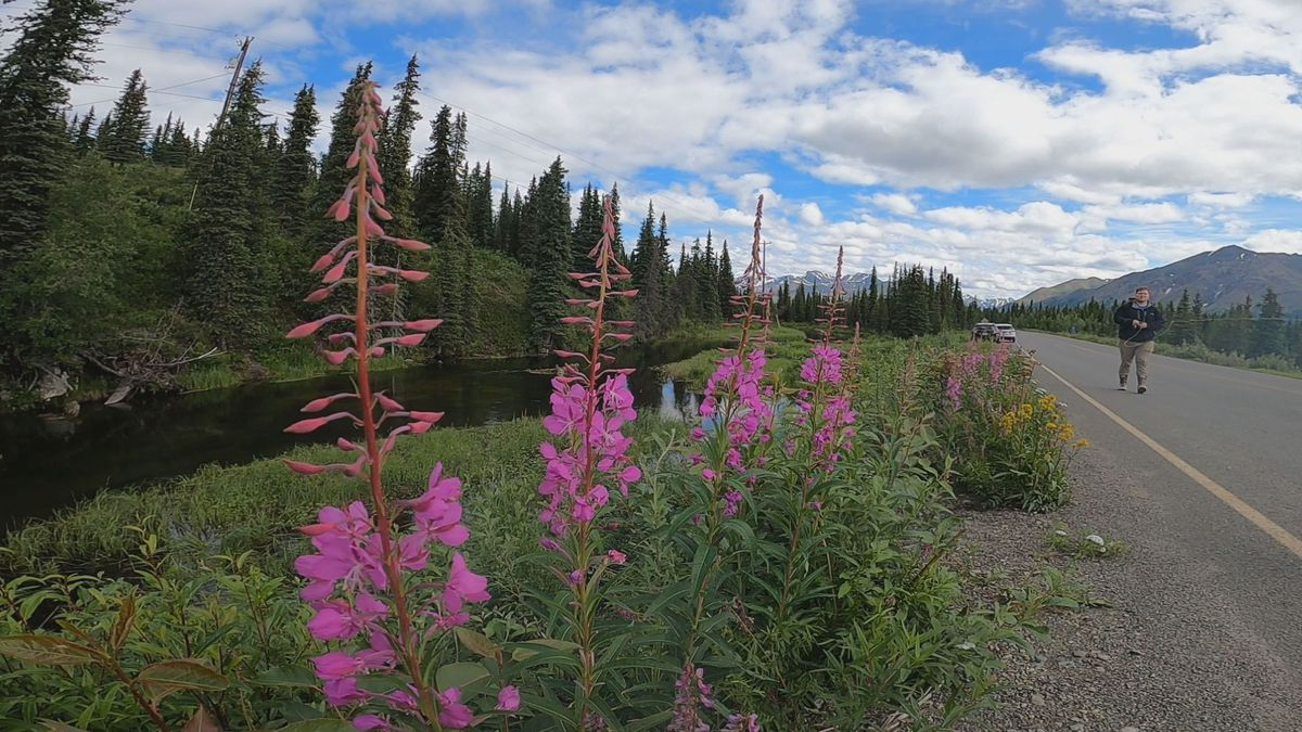 Fireweed grows along the Denali Highway.