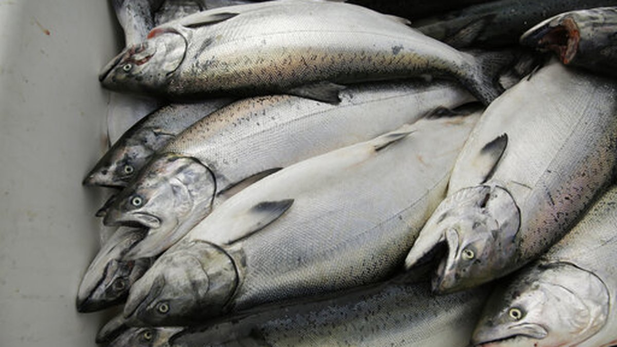In this photo taken Monday, July 22, 2019, chinook salmon is seen after being unloaded at...