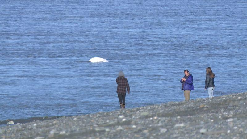 People watching Cook Inlet beluga whale