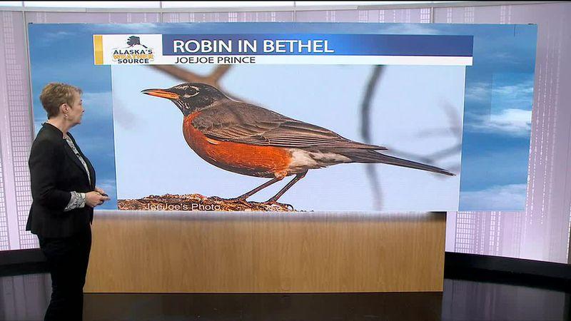 Robin in Bethel - JoeJoe Prince- JP 5-5-21