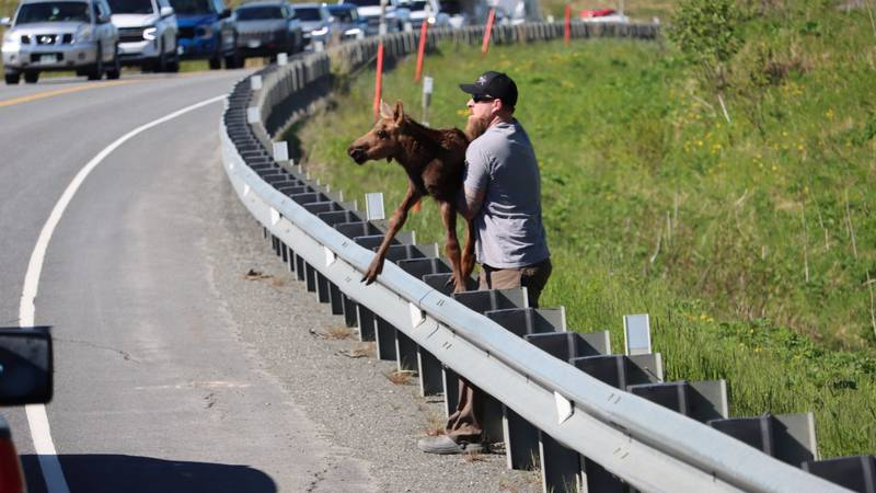 Joe Tate seen helping a baby moose get over a guard rail and back to it's mother near Clam Gulch.