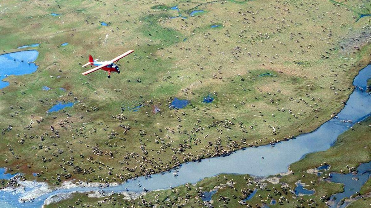 FILE - In this undated photo provided by the U.S. Fish and Wildlife Service, an airplane flies over caribou from the Porcupine Caribou Herd on the coastal plain of the Arctic National Wildlife Refuge in northeast Alaska. The refuge takes up an area nearly the size of South Carolina in Alaska's northeast corner. (U.S. Fish and Wildlife Service via AP)