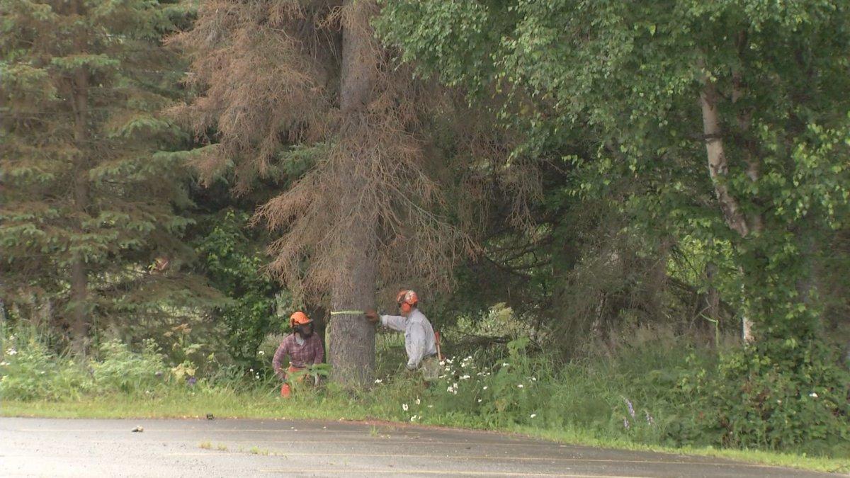 Team Rubicon cuts down trees in Anchorage's Hillside neighborhood.