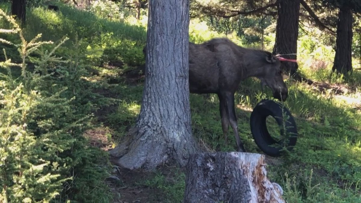 Moose plays with tire swing in Bear Valley. From: Don Reardon