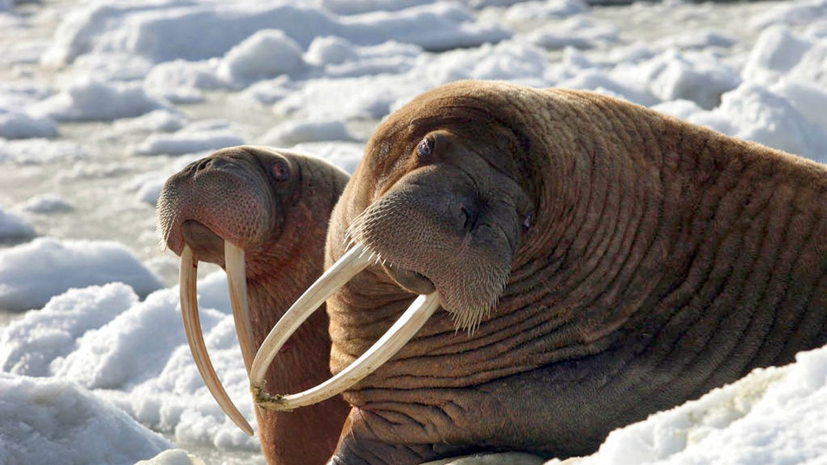 This April 17, 2004, photo provided by the U.S. Fish and Wildlife Service shows two walrus...