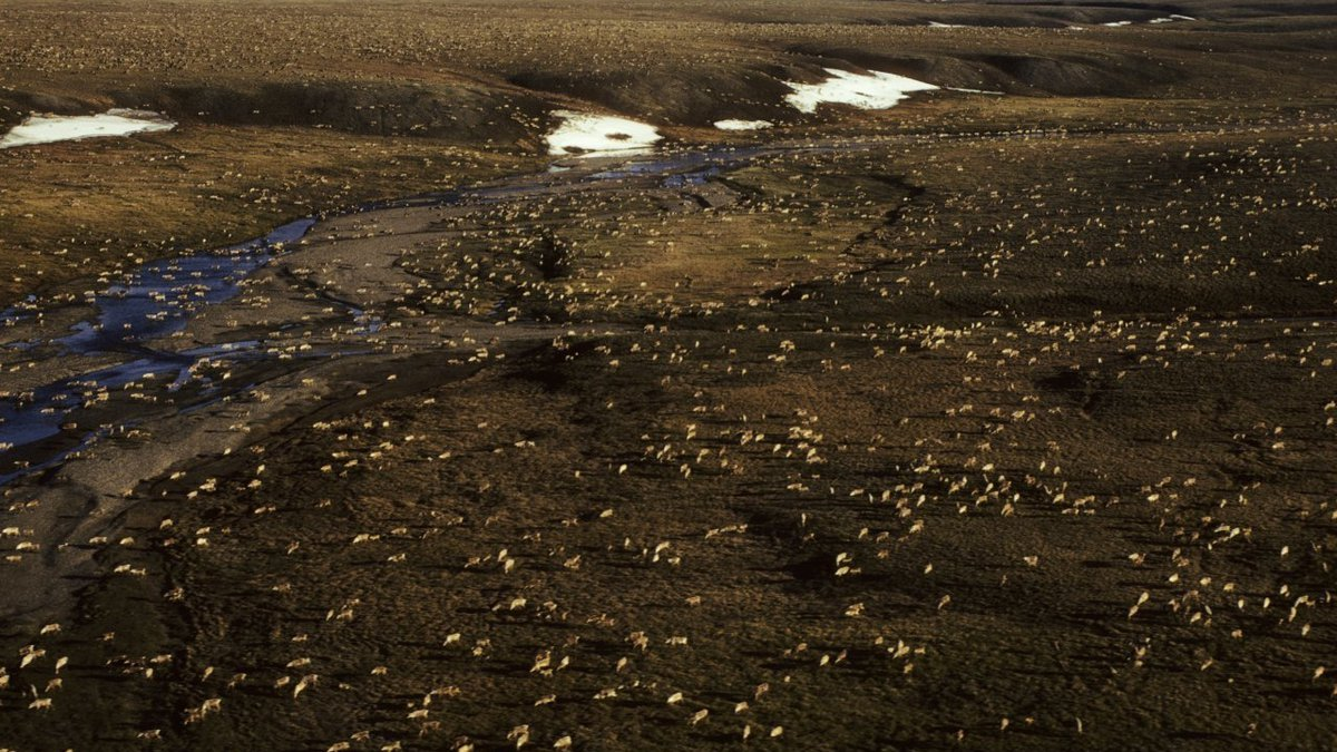 This undated aerial photo provided by U.S. Fish and Wildlife Service shows a herd of caribou on...