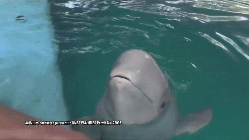 Beluga whale Tyonek was stranded and near death back in 2017. After being rescued and nursed...