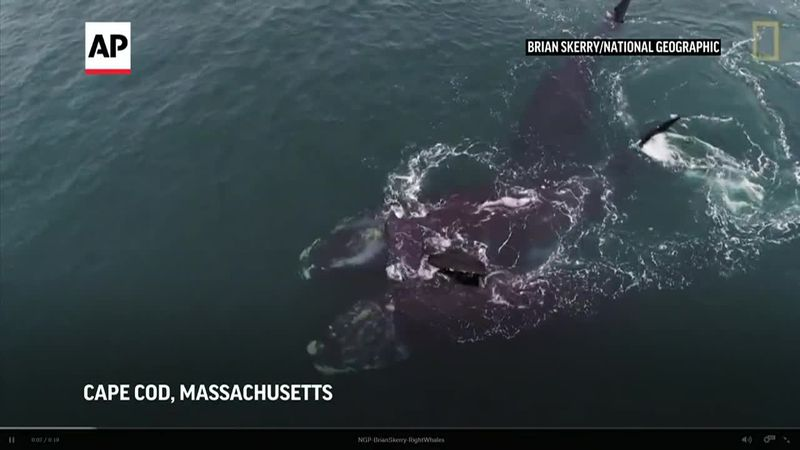 Two endangered North Atlantic right whales appear to be touching flippers.