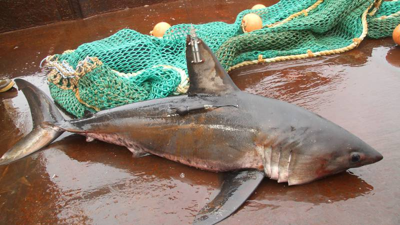 A salmon shark tagged by Fish and Game.