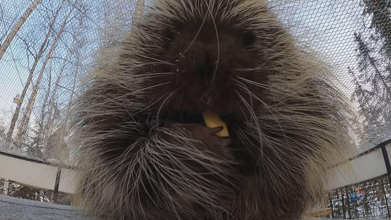 Alaska Zoo celebrates groundhog's day with porcupines.