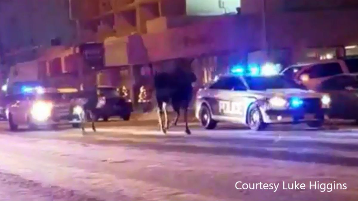 APD escorts a moose cow and calf on Nov. 11, 2017, in downtown Anchorage. (Image still courtesy...