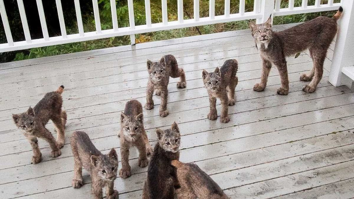 Family of lynx on deck of Anchorage resident (photo Courtesy of Tim Newton Photography)