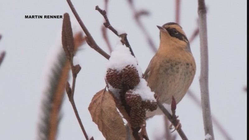 A Siberian accentor was observed during the Homer's Christmas Bird Count for the first time...