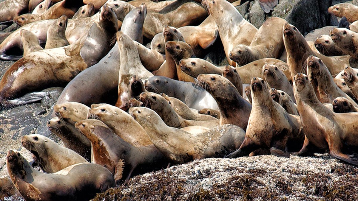 Steller sea lions (Photo from NOAA)