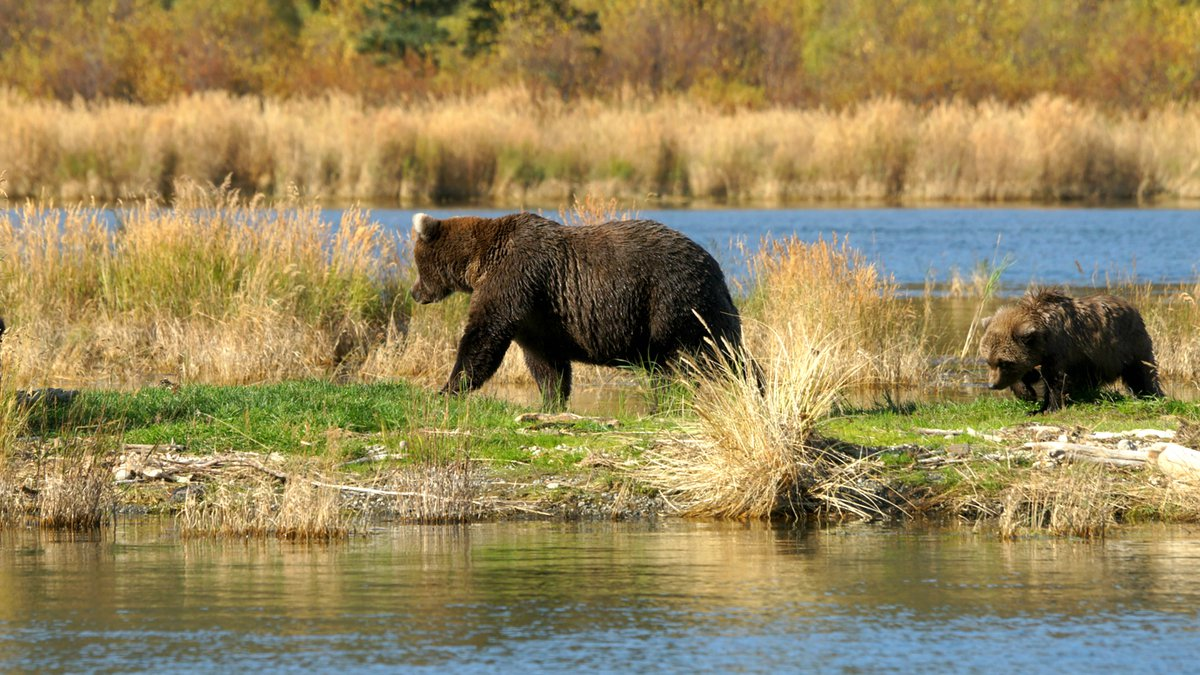 A brown bear sow and cub walk along the edge of a lake in Katmai National Park in September of...