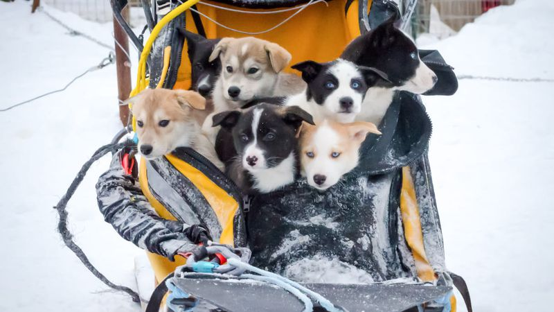 A litter of Alaskan sled dog puppies.