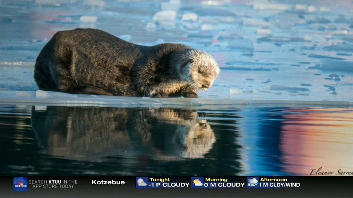 Otter seems to looks at its reflection _Seward Boat Harbor_Eleanor Sarren 1-12-20