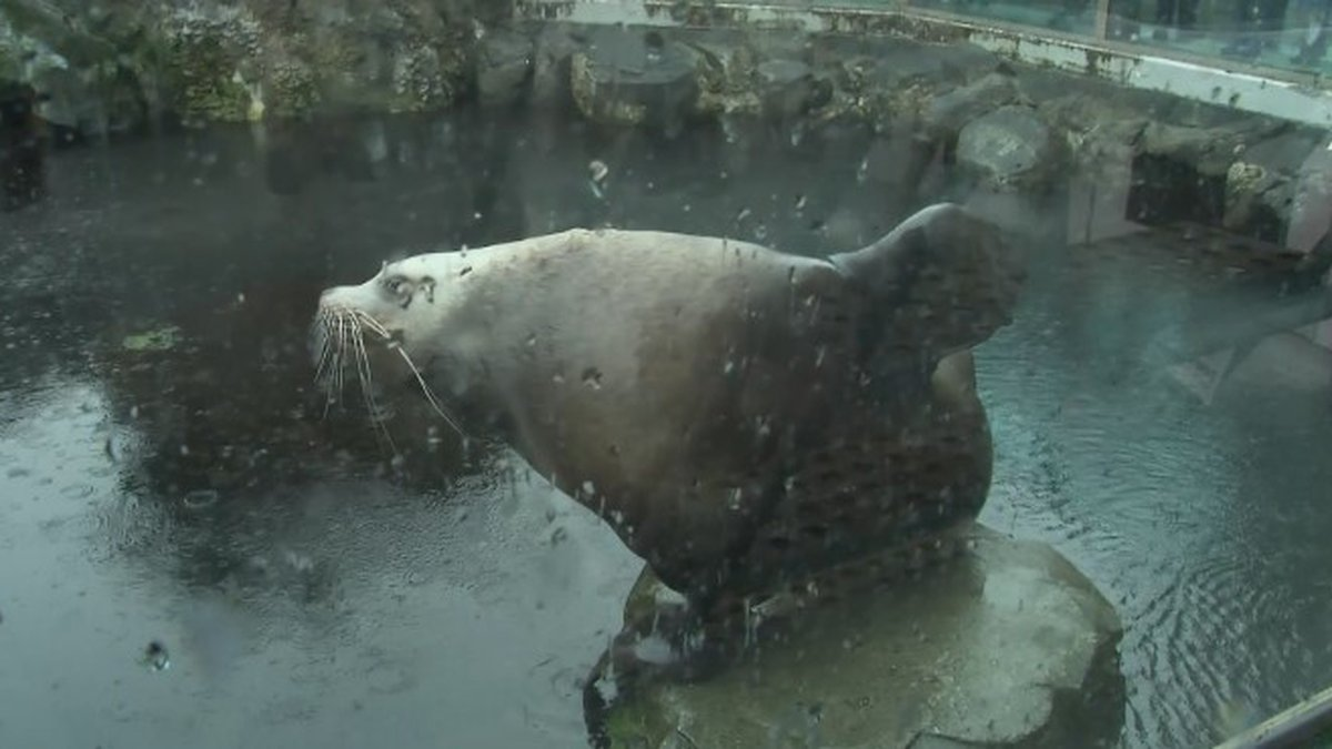 Pilot, a stellar sea lion, is one of the featured attractions at the Alaska Sealife Center.