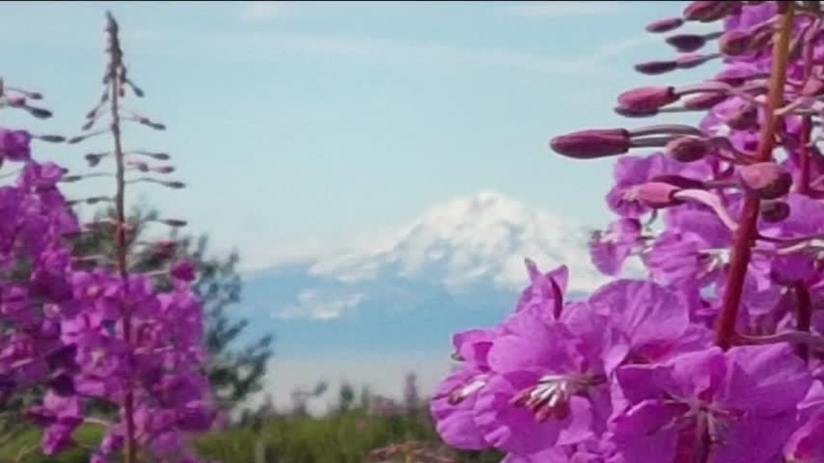 Fireweed & Redoubt Volcano-Cindy Rombach
