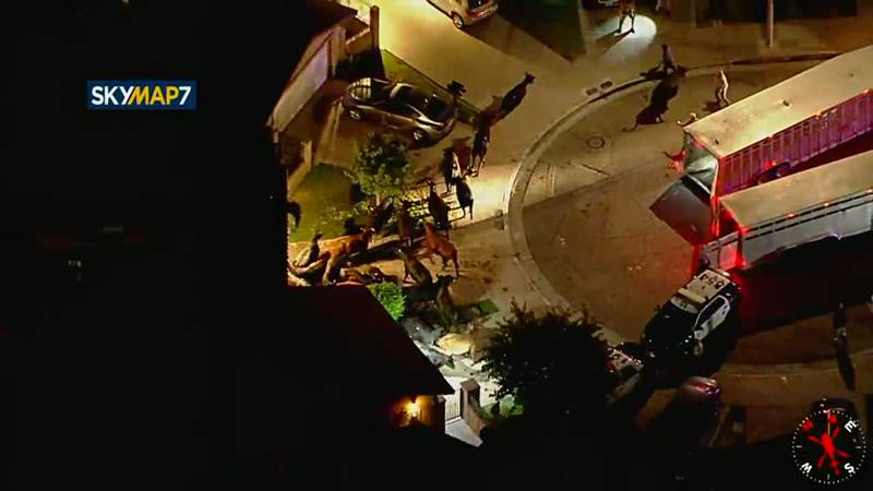 A herd of at least 20 cows got loose and ran through a neighborhood in Pico Rivera, California,...