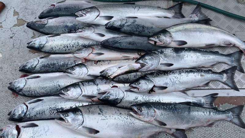 Silver salmon in Seward, Alaska.