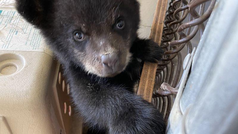 An orphaned black bear cub arrived at the Alaska Zoo on Saturday.