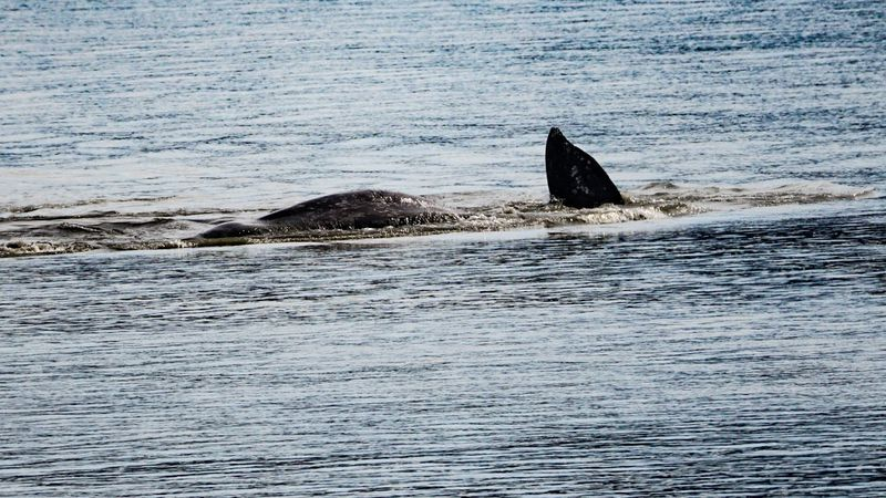 A juvenile whale is seen in Turnagain Arm on Thursday, May 6, 2021 near Girdwood, Alaska. The...