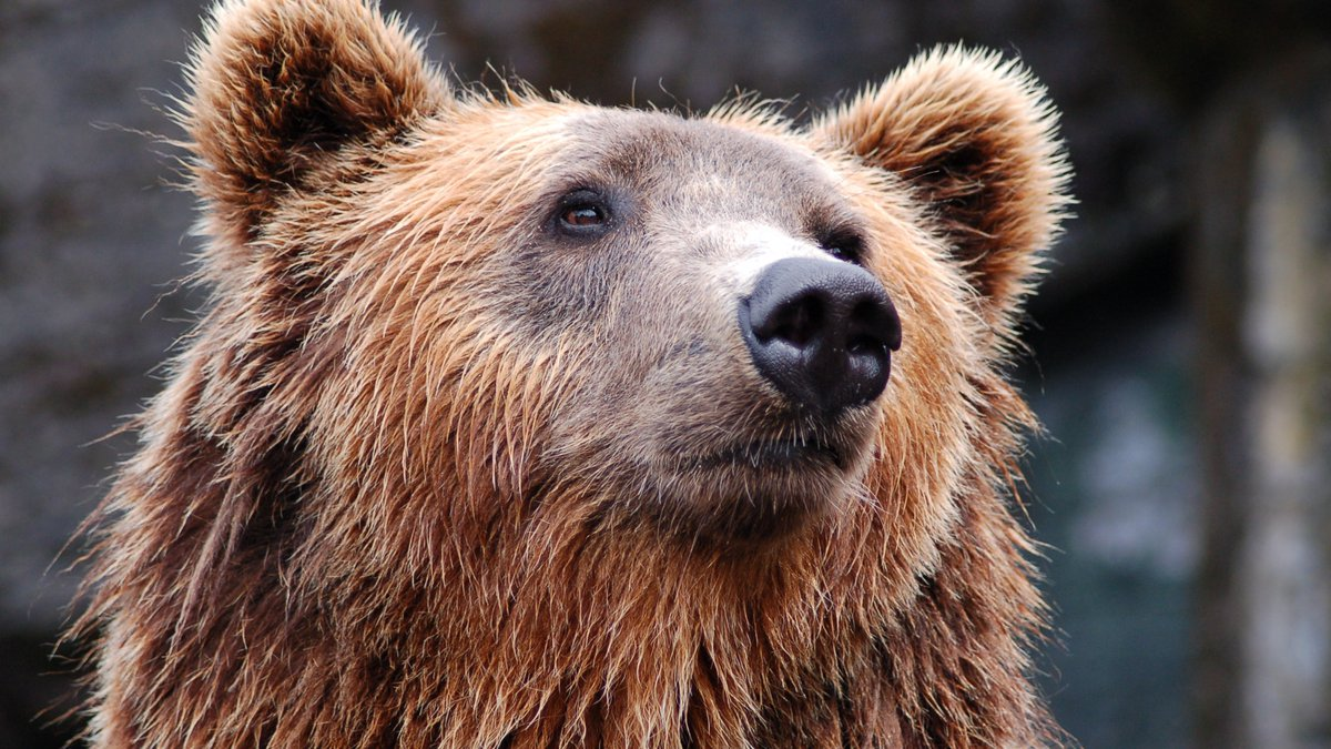 A Chitina man was mauled by a bear in the Gulkana area Tuesday. A brown bear is seen in a file...