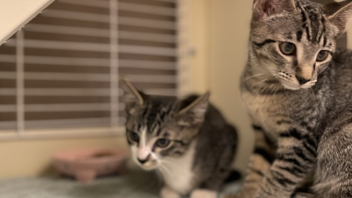 Cruella and Alice, two of the give kittens available for adoption.