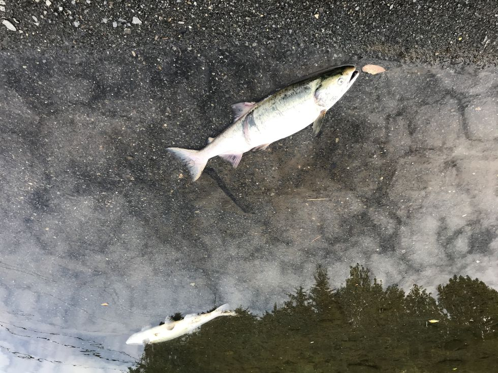 Hundreds of dead pink salmon and other fish species were found in the Buskin River.