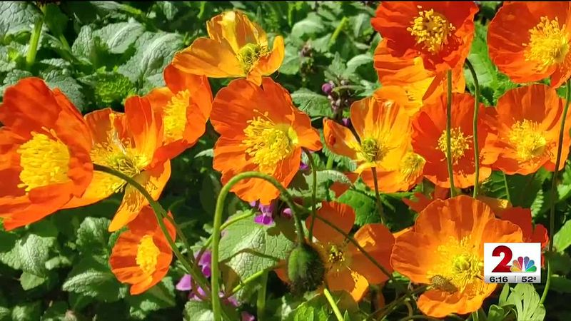 Weather Lab: Heliotropic flowers follow the sun.