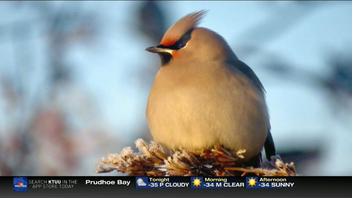 Waxwing_Kai Finch- Feb 2020