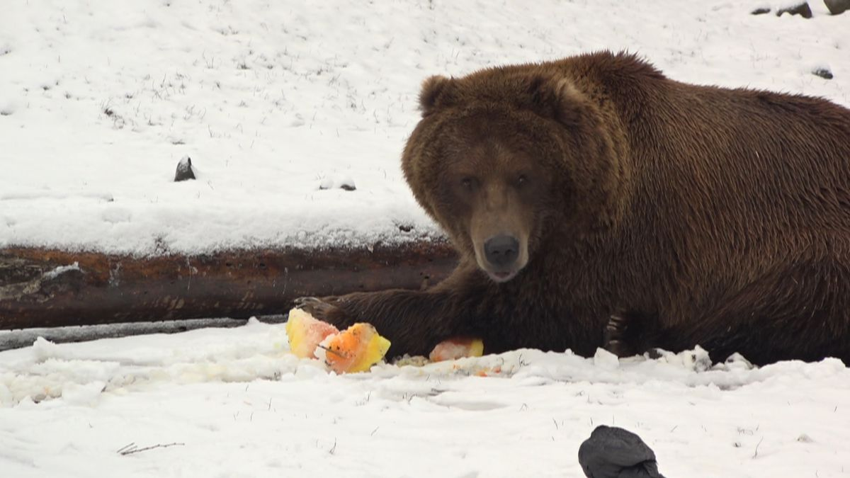 Izzy the Brown Bear is the favored candidate for president of the Alaska Zoo in the 2020...