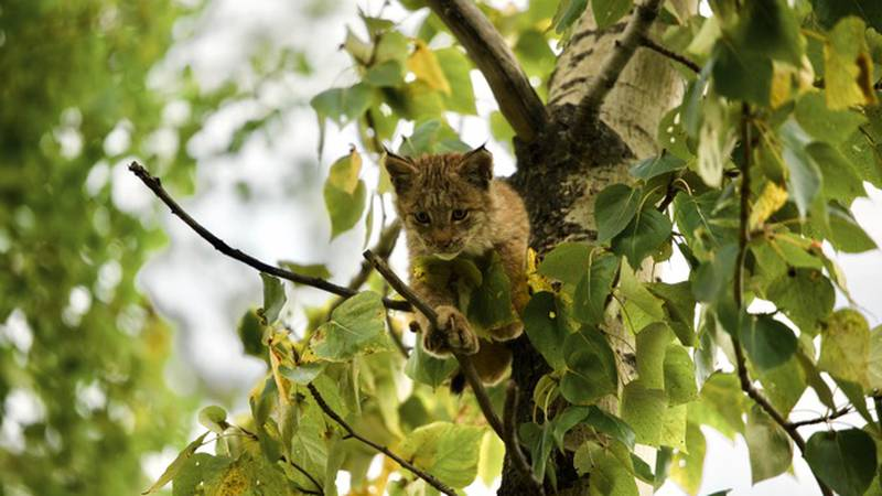 One of four lynx kittens that were spotted in a South Anchorage neighborhood looks down from...