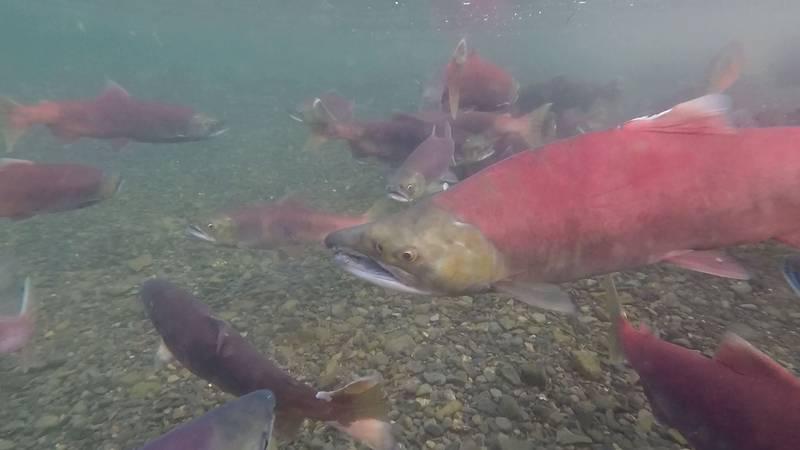 Sockeye salmon congregate before spawning. (KTUU)