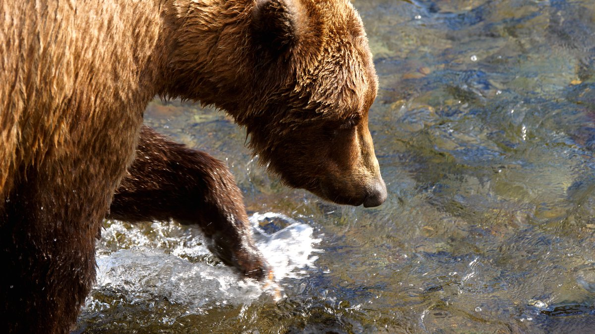 In this file photo from April 2021, A brown bear walks upriver near Brooks Falls in Katmai...
